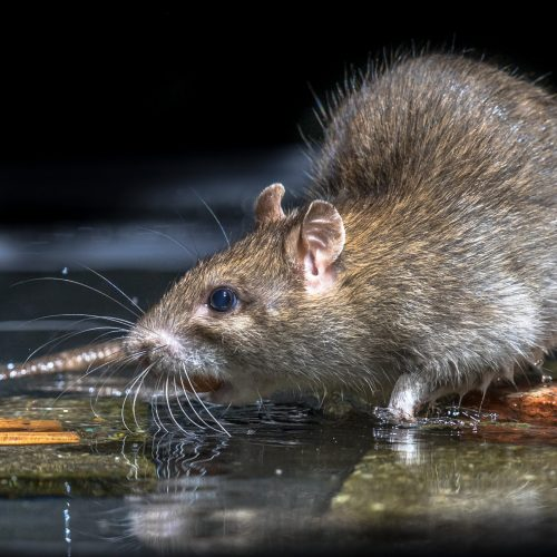 Close up of Wild Brown Rat (Rattus norvegicus) feeding on stones in water of river