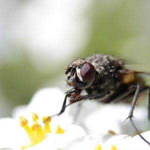 Macro of a housefly, musca domestica, feeding on the pollen of a flower.